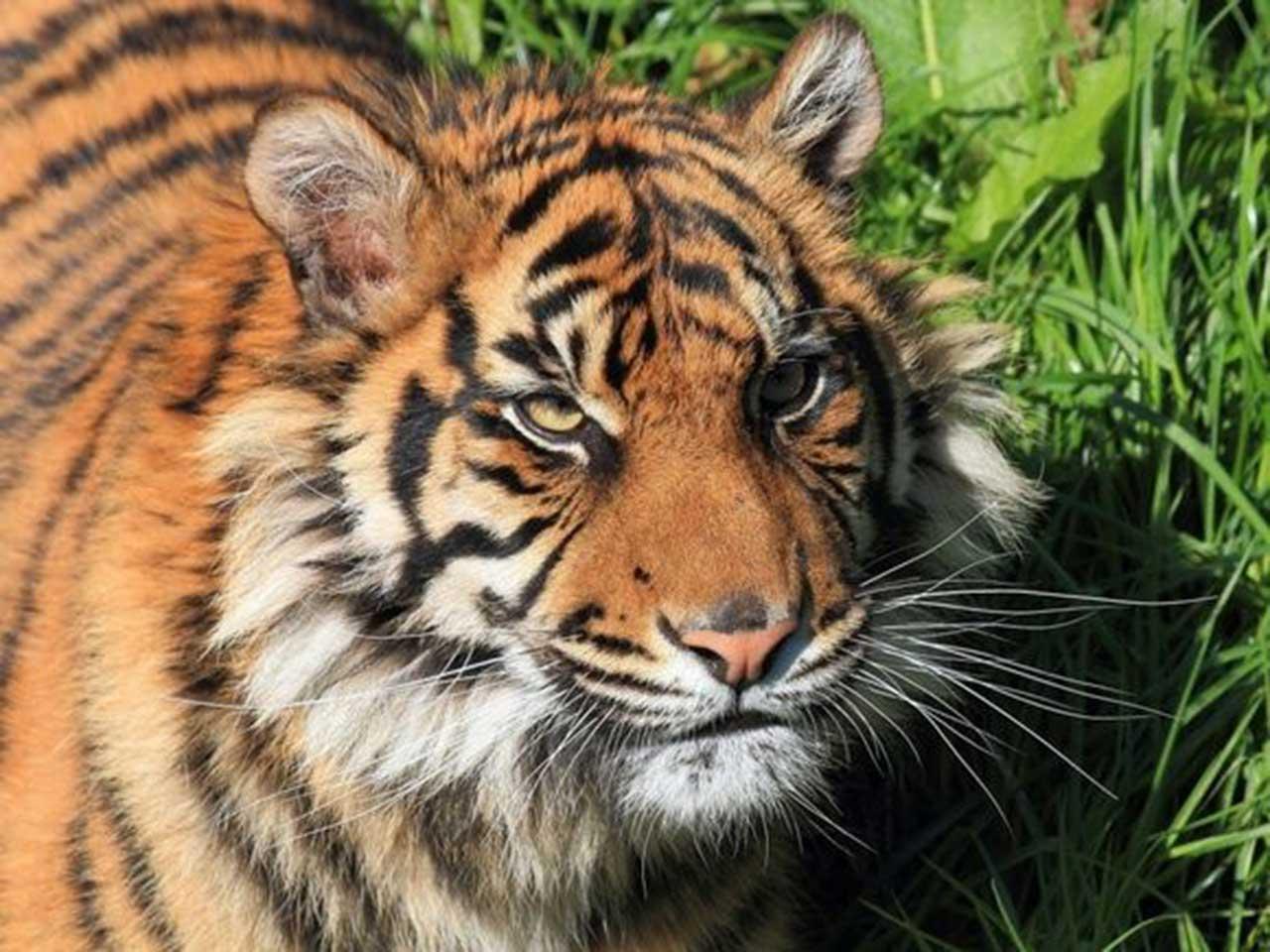 tiger wallpaper ipad